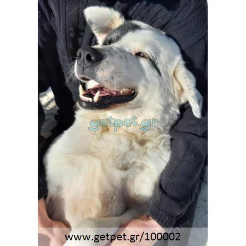 Δίνεται για υιοθεσία - χαρίζεται σκυλίτσα Greek Sheepdog - Ελληνικός Ποιμενικός