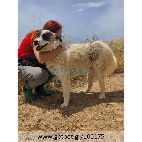 Δίνεται για υιοθεσία - χαρίζεται ημίαιμος σκυλάκος Greek Sheepdog - Ελληνικός Ποιμενικός