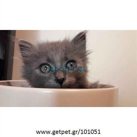Δίνεται για υιοθεσία - χαρίζεται ημίαιμο γατάκι British Longhair- Βρετανική Μακρύτριχη