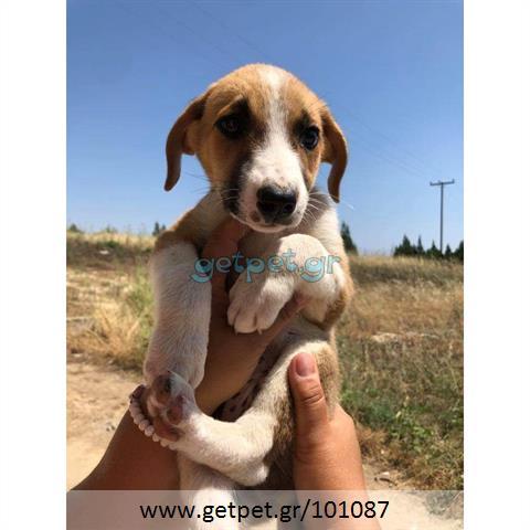 Δίνεται για υιοθεσία - χαρίζεται ημίαιμος σκυλάκος Cretan Hound - Κρητικός Λαγωνικός