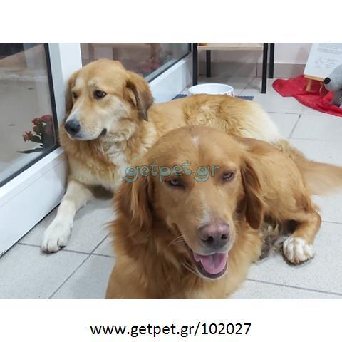 Δίνεται για υιοθεσία - χαρίζεται ημίαιμος σκυλάκος Irish Setter - Αγγλικό Σέτερ