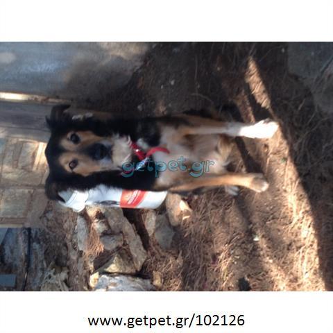 Δίνεται για υιοθεσία - χαρίζεται σκυλάκος Border Collie - Μπόρντερ Κόλεϋ