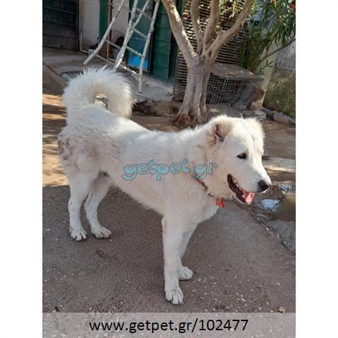 Δίνεται για υιοθεσία - χαρίζεται σκυλάκος Great Pyrenees - Ορεινός Πυρηναίων