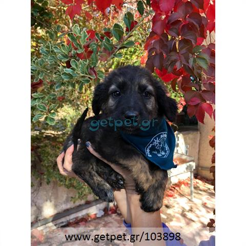Δίνεται για υιοθεσία - χαρίζεται ημίαιμο κουτάβι German Shepherd - Γερμανικός Ποιμενικός - Λυκόσκυλο