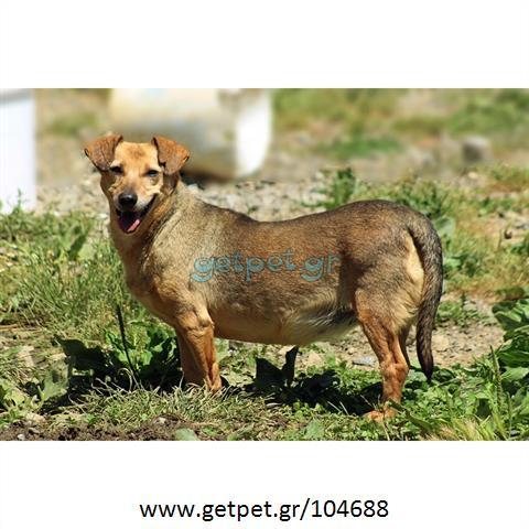 Δίνεται για υιοθεσία - χαρίζεται ημίαιμη σκυλίτσα Dachshund - Ντατσχάουντ - Λουκάνικο