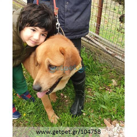 Δίνεται για υιοθεσία - χαρίζεται σκυλάκος Labrador Retriever - Λαμπραντόρ Ριτρίβερ