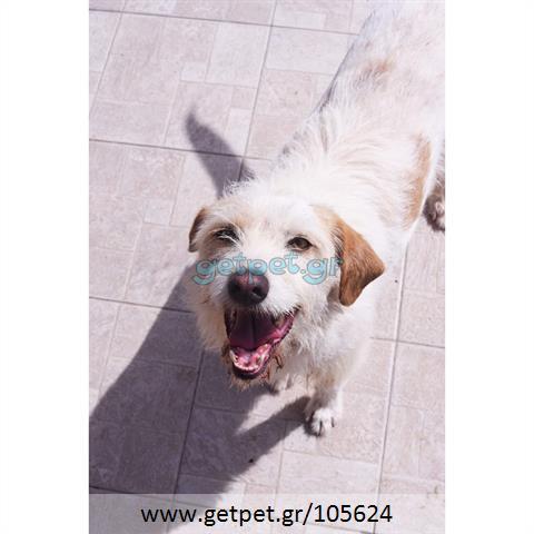 Δίνεται για υιοθεσία - χαρίζεται ημίαιμη σκυλίτσα Griffon - Γκριφόν