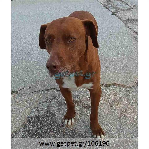 Δίνεται για υιοθεσία - χαρίζεται ημίαιμος σκυλάκος American Staffordshire Terrier - Τεριέ