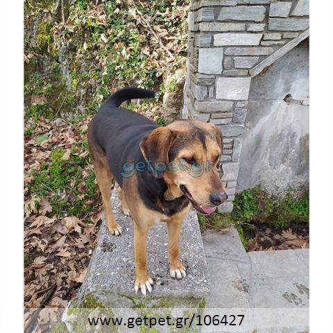 Δίνεται για υιοθεσία - χαρίζεται ημίαιμη σκυλίτσα Greek Harehound - Ελληνικός Ιχνηλάτης
