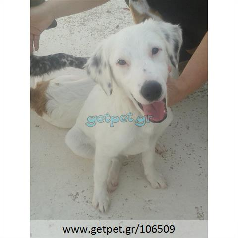 Δίνεται για υιοθεσία - χαρίζεται σκυλίτσα Labrador Retriever - Λαμπραντόρ Ριτρίβερ