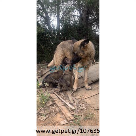 Δίνεται για υιοθεσία - χαρίζεται κουτάβι German Shepherd - Γερμανικός Ποιμενικός - Λυκόσκυλο