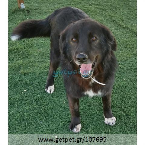 Δίνεται για υιοθεσία - χαρίζεται σκυλάκος Greek Sheepdog - Ελληνικός Ποιμενικός