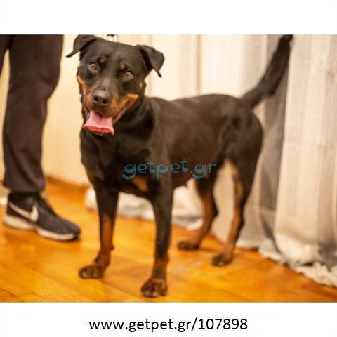 Δίνεται για υιοθεσία - χαρίζεται ημίαιμη σκυλίτσα Rottweiler - Ροτβάιλερ