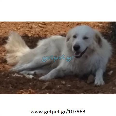Δίνεται για υιοθεσία - χαρίζεται σκυλάκος Golden Retriever - Γκόλντεν Ριτρίβερ