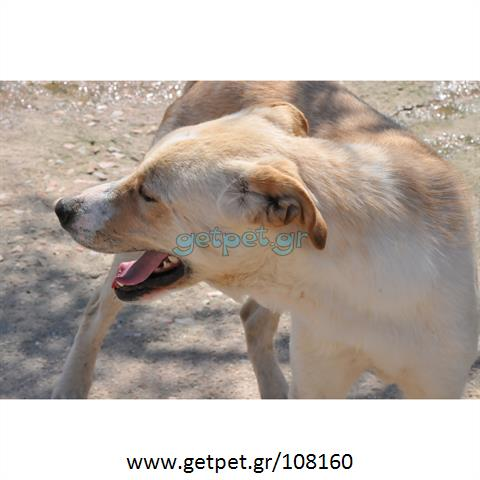 Δίνεται για υιοθεσία - χαρίζεται ημίαιμος σκυλάκος Labrador Retriever - Λαμπραντόρ Ριτρίβερ