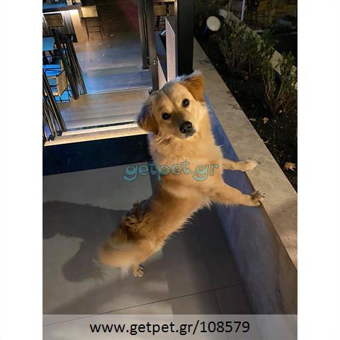 Δίνεται για υιοθεσία - χαρίζεται ημίαιμος σκυλάκος Greek Kokoni - Κοκόνι
