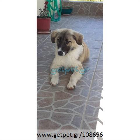 Δίνεται για υιοθεσία - χαρίζεται ημίαιμη σκυλίτσα German Shepherd - Γερμανικός Ποιμενικός - Λυκόσκυλο