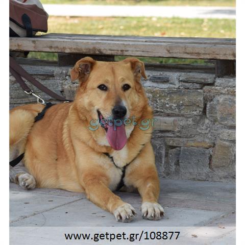 Δίνεται για υιοθεσία - χαρίζεται ημίαιμη σκυλίτσα Labrador Retriever - Λαμπραντόρ Ριτρίβερ