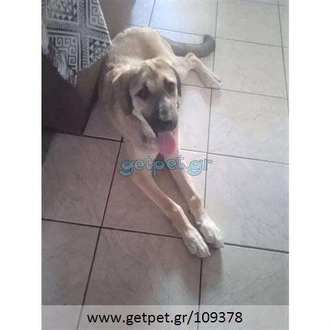 Δίνεται για υιοθεσία - χαρίζεται κουτάβι Labrador Retriever - Λαμπραντόρ Ριτρίβερ