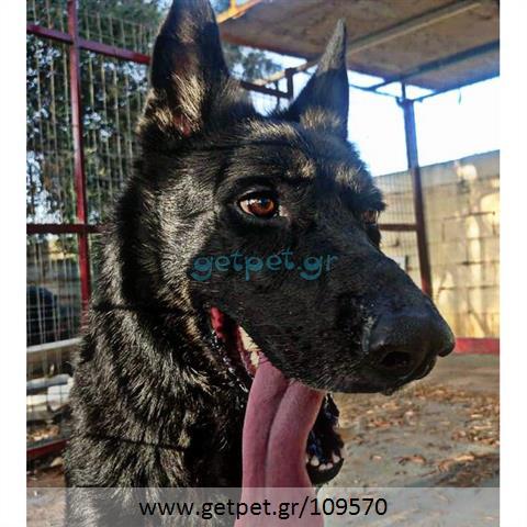 Δίνεται για υιοθεσία - χαρίζεται σκυλάκος Belgian Shepherd - Βέλγικο Ποιμενικό