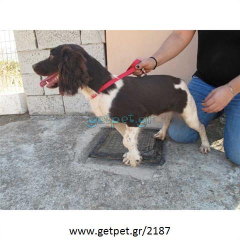 Δίνεται για υιοθεσία - χαρίζεται σκυλίτσα English Springer Spaniel - Σπρίνγκερ Σπάνιελ