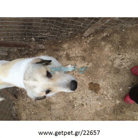 Δίνεται για υιοθεσία - χαρίζεται ημίαιμος σκυλάκος Great Pyrenees - Ορεινός Πυρηναίων