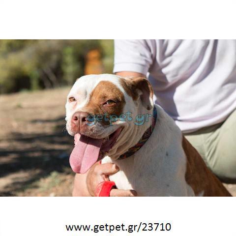 Δίνεται για υιοθεσία - χαρίζεται σκυλίτσα Pit Bull - Πίτ Μπουλ Τερριέ