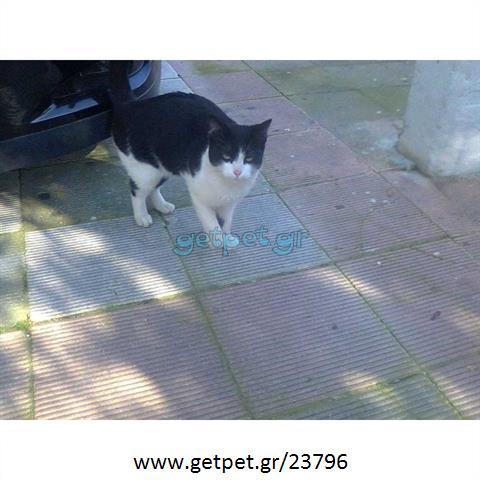 Χάθηκε ημίαιμη γάτα