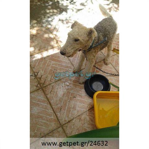 Δίνεται για υιοθεσία - χαρίζεται σκυλάκος Fox terrier - Φοξ Τερριέ