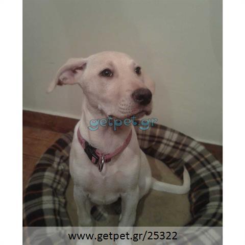 Δίνεται για υιοθεσία - χαρίζεται ημίαιμη σκυλίτσα Cretan Hound - Κρητικός Λαγωνικός