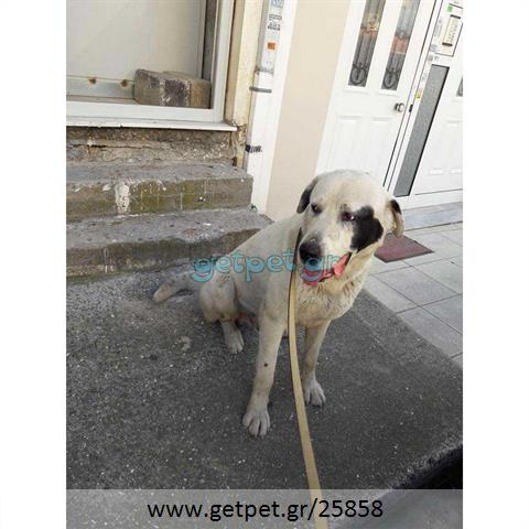 Δίνεται για υιοθεσία - χαρίζεται σκυλάκος Central Asian Shepherd - Ποιμενικός Κεντρ. Ασίας