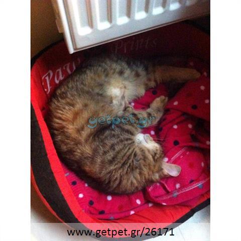 Δίνεται για υιοθεσία - χαρίζεται ημίαιμη γάτα British Longhair- Βρετανική Μακρύτριχη