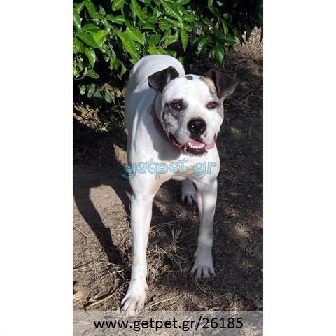 Δίνεται για υιοθεσία - χαρίζεται σκυλίτσα American Bulldog - Μπουλ Ντογκ