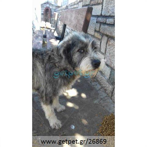 Δίνεται για υιοθεσία - χαρίζεται σκυλίτσα English Sheepdog - Αγγλικός Ποιμενικός