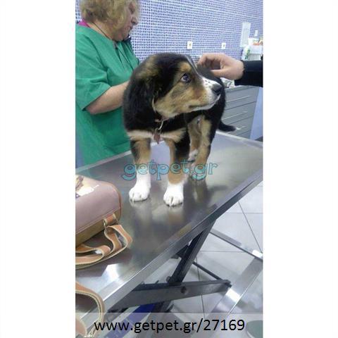Δίνεται για υιοθεσία - χαρίζεται ημίαιμος σκυλάκος Bernese Mountain Dog - Ορεινός σκύλος Βέρνης
