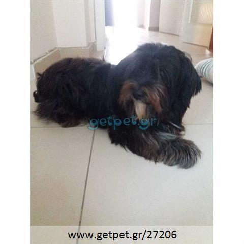 Δίνεται για υιοθεσία - χαρίζεται ημίαιμη σκυλίτσα Lhasa Apso - Λάσα Άπσο