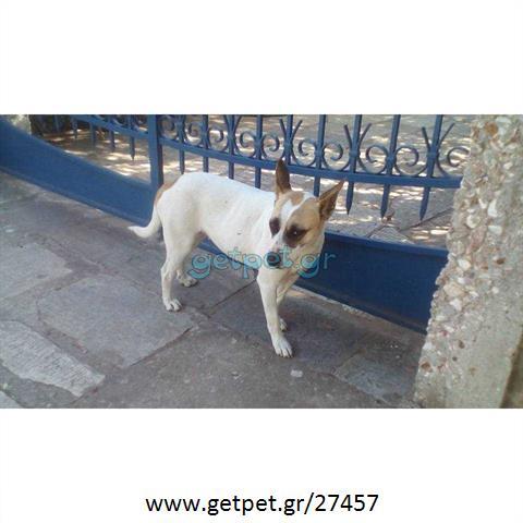Δίνεται για υιοθεσία - χαρίζεται ημίαιμη σκυλίτσα Bull Terrier - Μπουλ Τερριέ