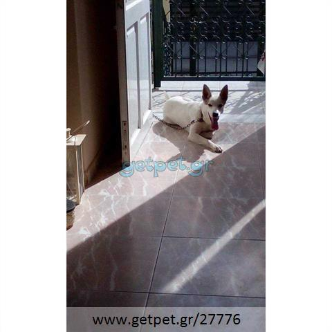 Δίνεται για υιοθεσία - χαρίζεται σκυλίτσα Cretan Hound - Κρητικός Λαγωνικός