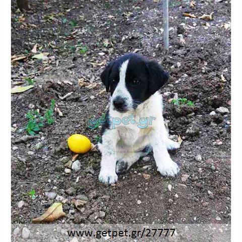 Δίνεται για υιοθεσία - χαρίζεται ημίαιμη σκυλίτσα English Springer Spaniel - Σπρίνγκερ Σπάνιελ