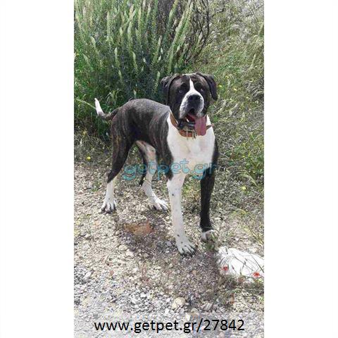 Δίνεται για υιοθεσία - χαρίζεται ημίαιμος σκυλάκος Cane corso - Κάνε Κόρσο