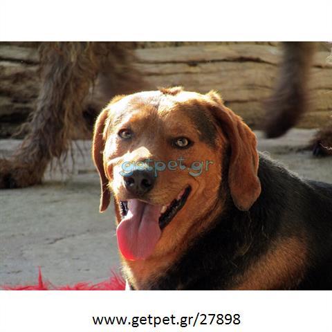 Δίνεται για υιοθεσία - χαρίζεται σκυλάκος Greek Harehound - Ελληνικός Ιχνηλάτης