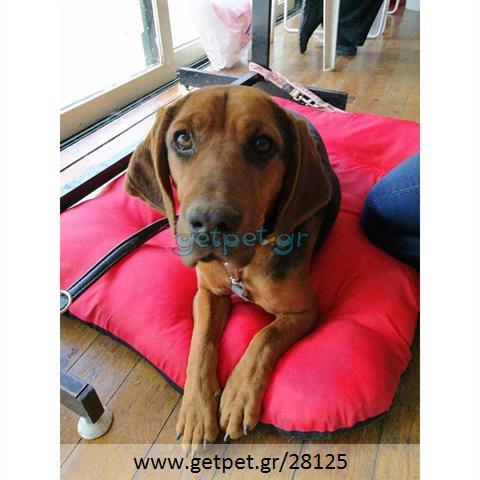 Δίνεται για υιοθεσία - χαρίζεται ημίαιμη σκυλίτσα Basset Hound - Μπασέ Χάουντ