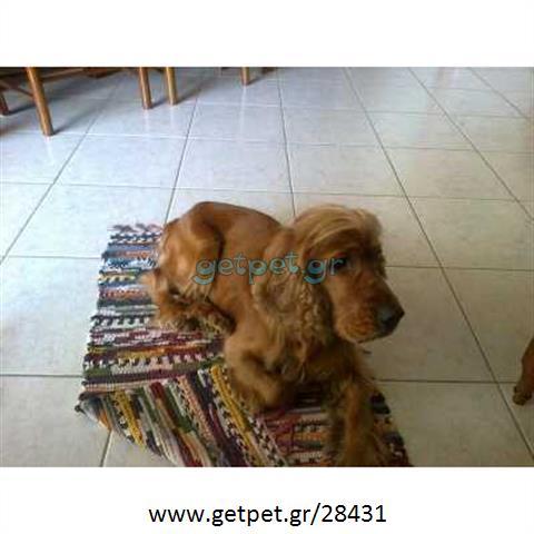 Δίνεται για υιοθεσία - χαρίζεται σκυλάκος Coker Spaniel - Κόκερ Σπάνιελ