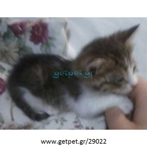 Δίνεται για υιοθεσία - χαρίζεται ημίαιμος γάτος Russian - Ρωσσική