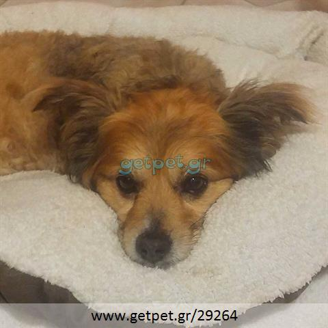 Δίνεται για υιοθεσία - χαρίζεται σκυλάκος Papillon - Παπιγιόν