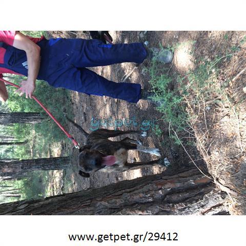 Δίνεται για υιοθεσία - χαρίζεται ημίαιμη σκυλίτσα American Bulldog - Μπουλ Ντογκ