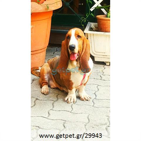 Δίνεται για υιοθεσία - χαρίζεται σκυλίτσα Basset Hound - Μπασέ Χάουντ