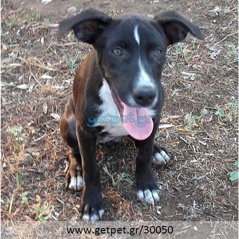 Δίνεται για υιοθεσία - χαρίζεται ημίαιμη σκυλίτσα American Staffordshire Terrier - Τεριέ