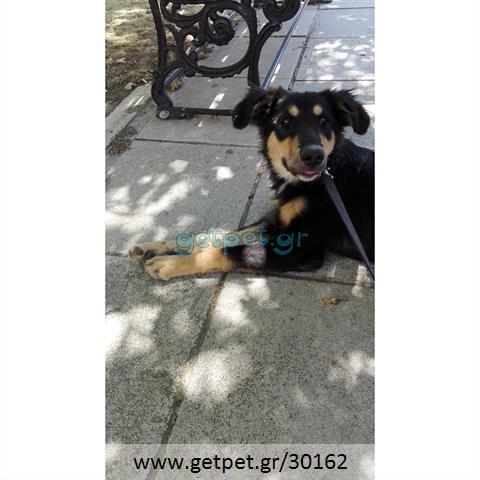 Δίνεται για υιοθεσία - χαρίζεται ημίαιμη σκυλίτσα Collie - Κόλεϊ