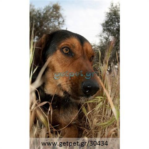 Δίνεται για υιοθεσία - χαρίζεται ημίαιμος σκυλάκος Greek Harehound - Ελληνικός Ιχνηλάτης